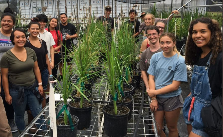 UH Hilo agricultural students conduct trials on growing rice in East Hawai'i