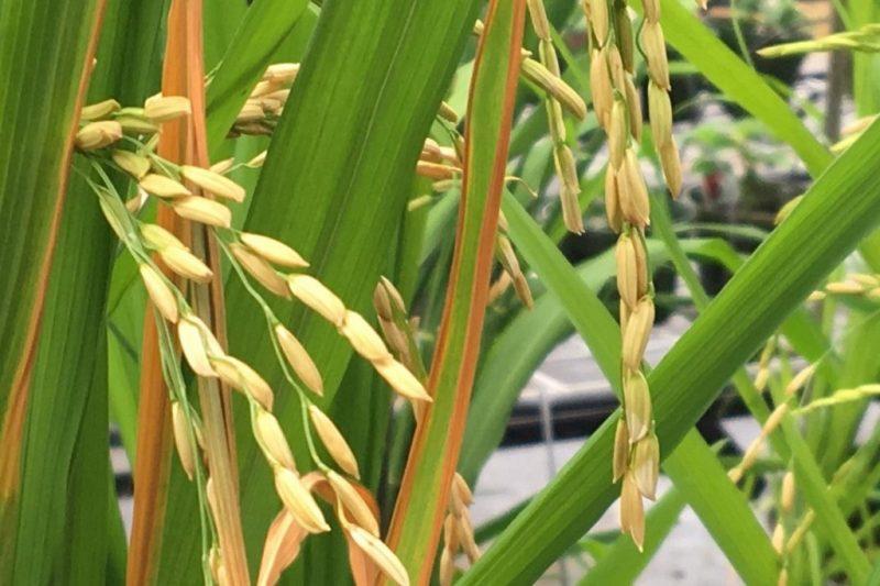 Bright yellow rice growing on dark green stalks.