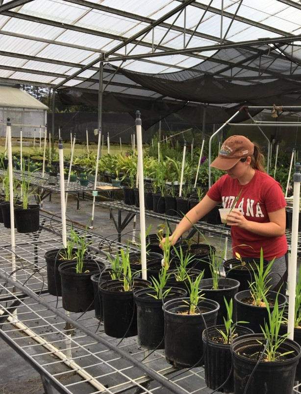 Student at greenhouse bench, tending to rice plants in pots.