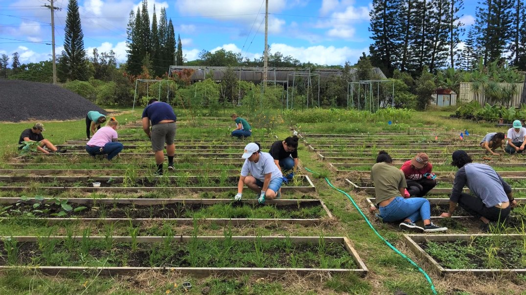 Students in agricultural plots, tending rice plants.