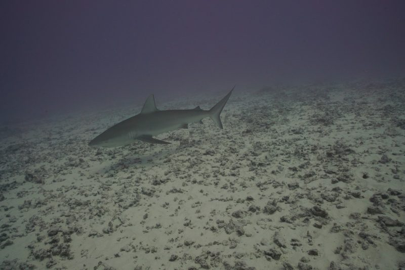 Dull dark waters, shark swims over a level area of mud and small debris.
