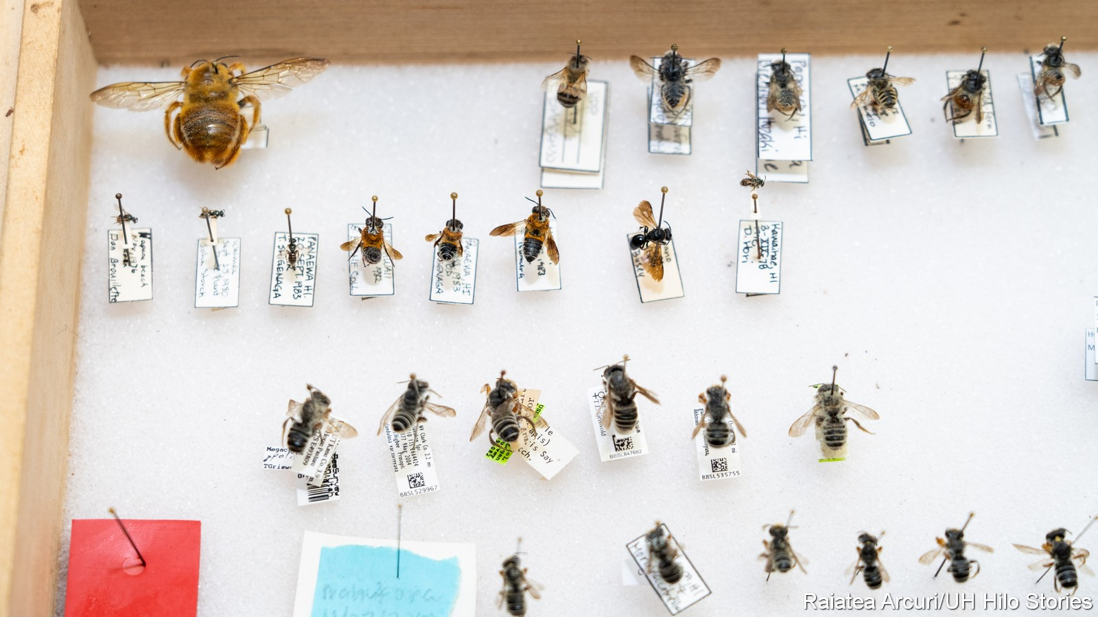 A box with a couple of dozen bee specimens pinned to the backboard.