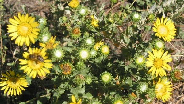 Gumweed with resins collecting in bud.