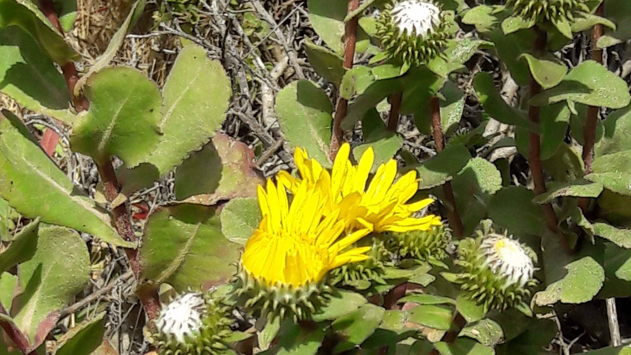 Gumweed yellow blooms and white resin.