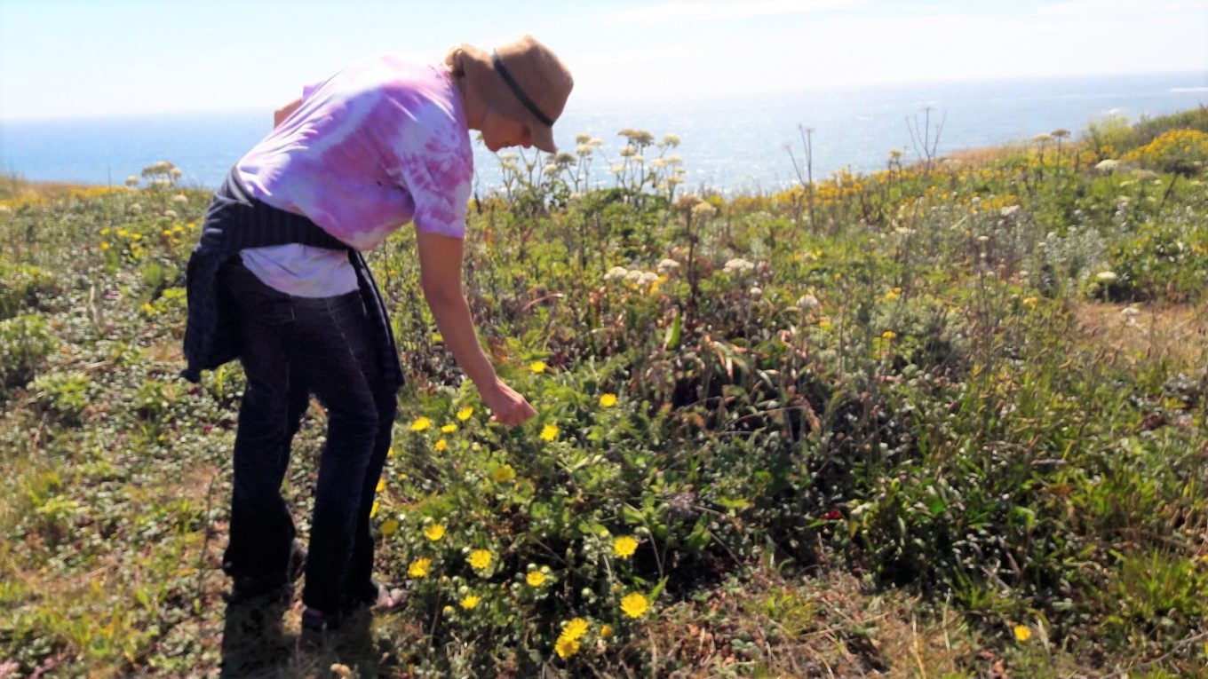 Sasha Nealand in the field, leans over to harvest resin from gumweed plants. In the background in the ocean.