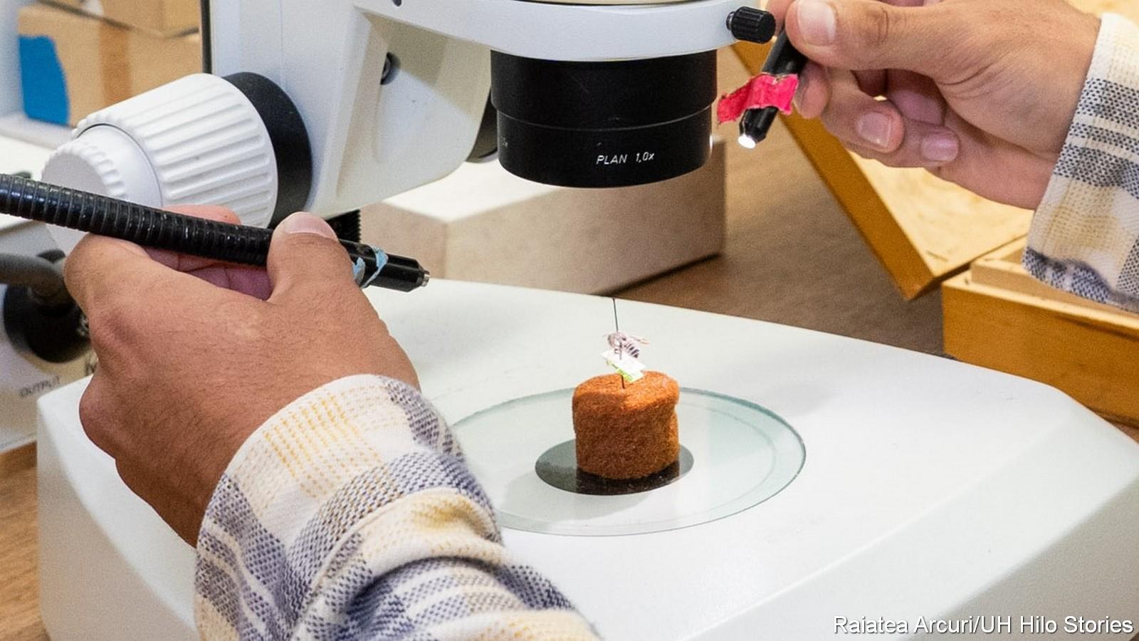 Examining bee specimen under microscope.