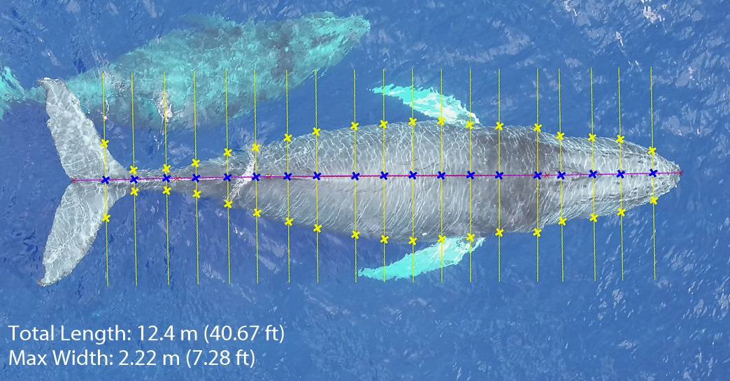 An overhead drone image of whale with overlaid measurements from nose to tail.