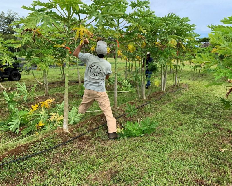 Jake harvesting papayas.