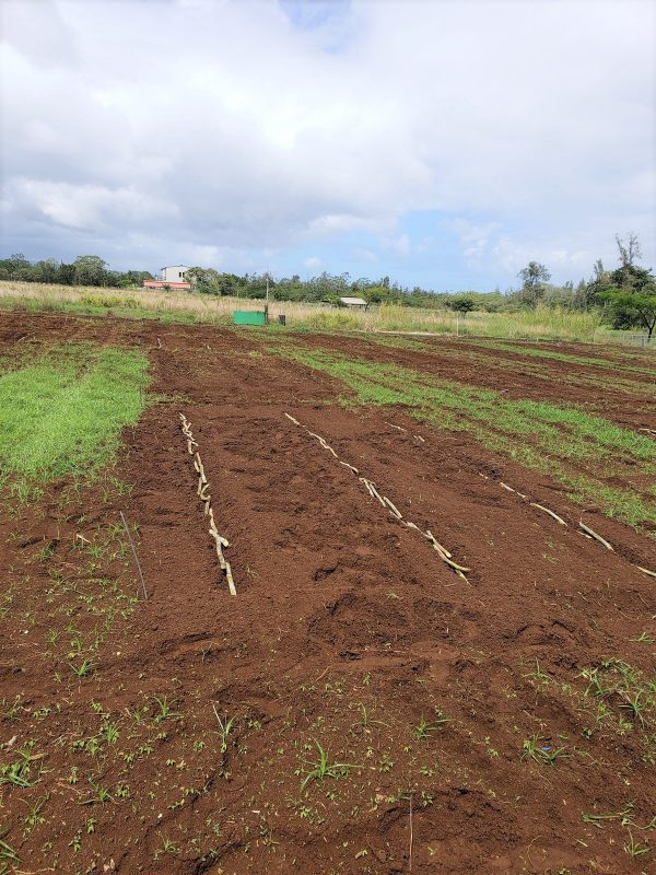 Plot with rows of seed cane.