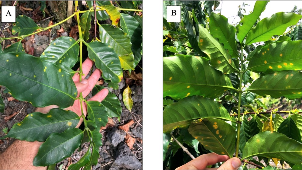 Two photos, one showing rust spots under the leaves of a coffee plant, the other showing rust spots on the top of the leaves.