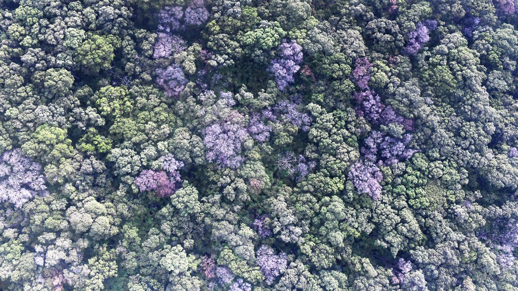 Aerial view of forest canopy with interspersed brown tree crowns.