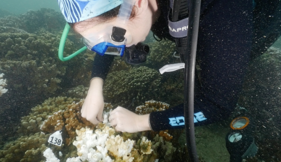 A diver attaches tags to a bleached portion of a coral