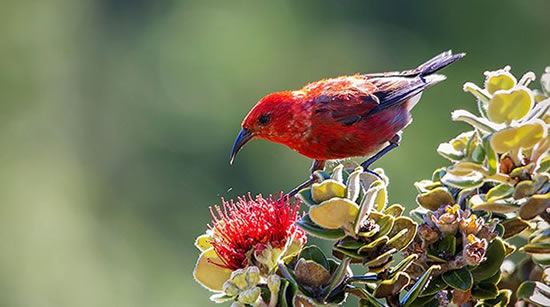 apapane (Hawaiian Honeycreeper)
