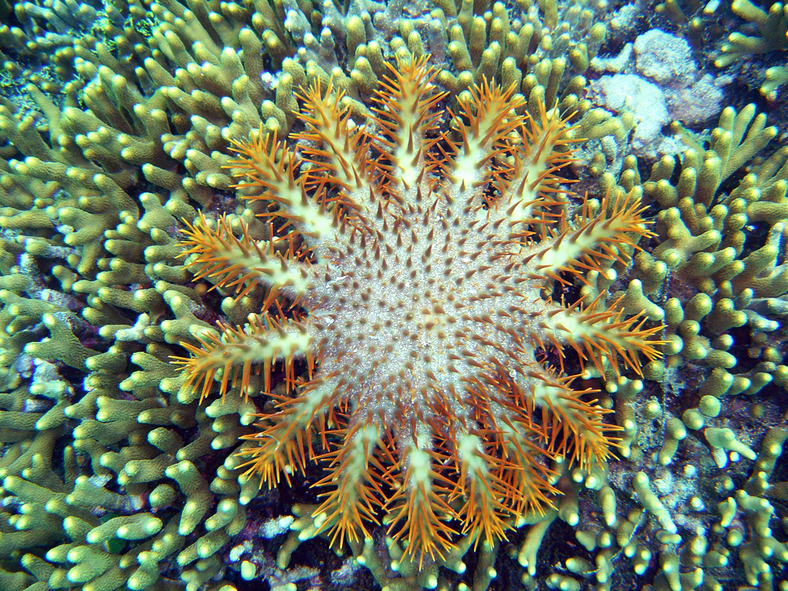 Crown of Thorns starfish sticking to coral
