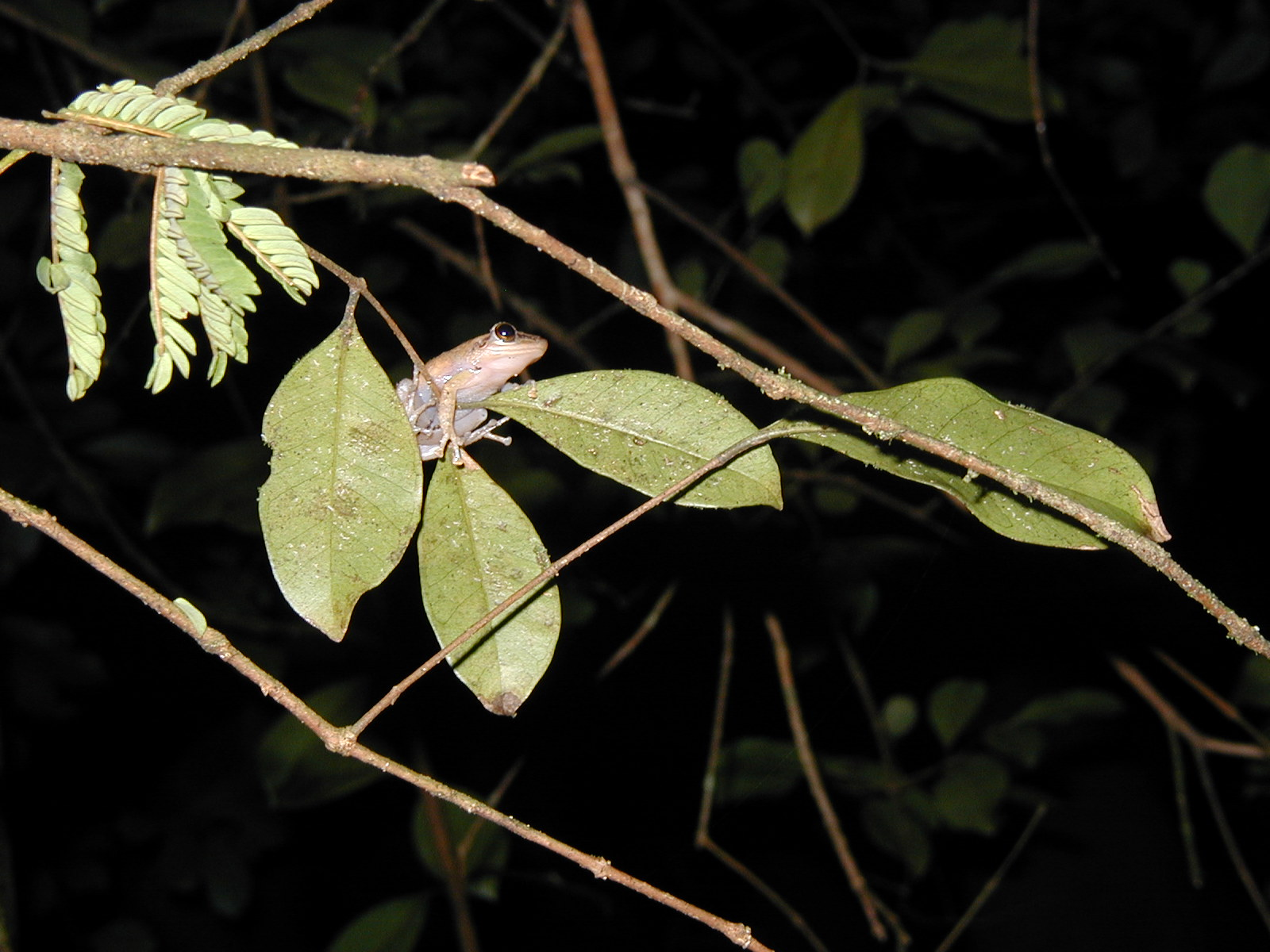 Coqui in tree.
