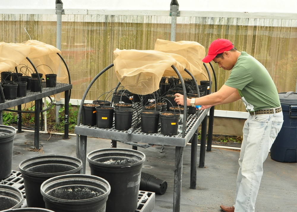 Norman Arancon working on plants on greenhouse bench.