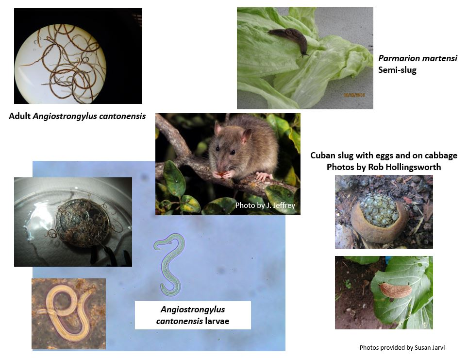 Photos of cycle of the parasite with the words: Adult Angiostrongylus cantontonensi (photo of thready worms), Paramarion martensi semi-slug (on a lettuce leaf), photo of a rat by J. Jeffery, Angiostrongylus cantontonensi larvae (microscopic image and image in pertri dish), Cuban slugs with eggs on cabbage Photos by Rob Hillingsworth Photos provided by Sue Jarvi.