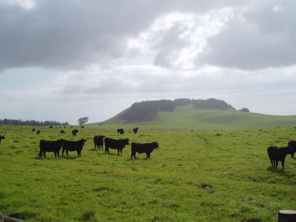 Cattle grazing, puu in background.