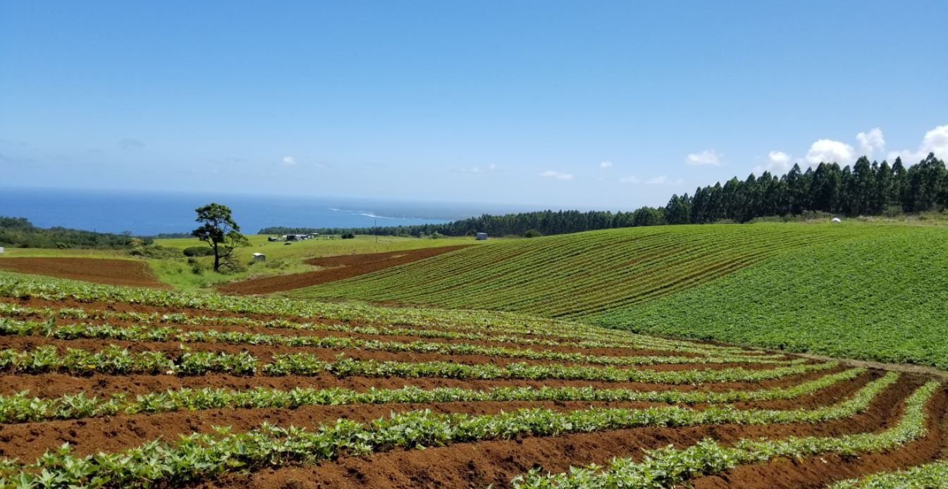Large sweet potato field with ocean backdrop.