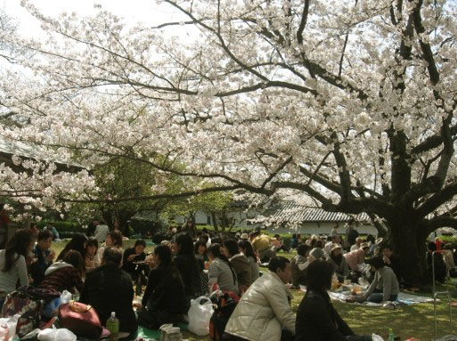 Hanami, a Japanese custom of viewing cherry blossoms