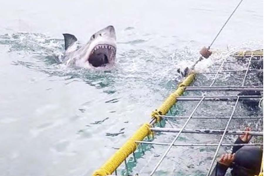 Shark approaching diving cage