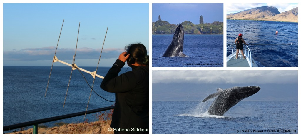 Whale bioacoustics. Photos:  Adam Pack, Hilary S. Scott & Sabena Siddiqui